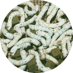 150 Large Silkworms